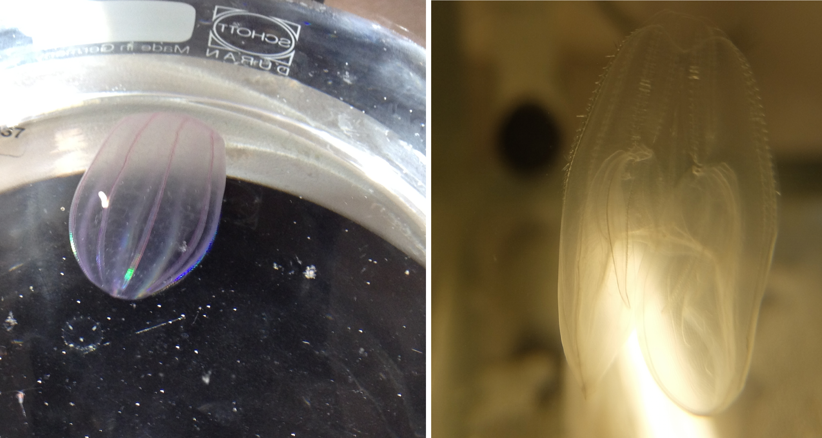 Pictures 6 : Examples of gelatinous zooplankton (Beroe sp. and Bolinopsis sp.) collected during the mesocosm experiment - © M. Stockenreiter, Luna Benitez Requena, Sabine Schultes and Patrick Fink